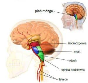 pień mózgu